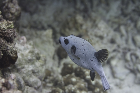 blackspotted: Blackspotted puffer at Surin national park in Thailand