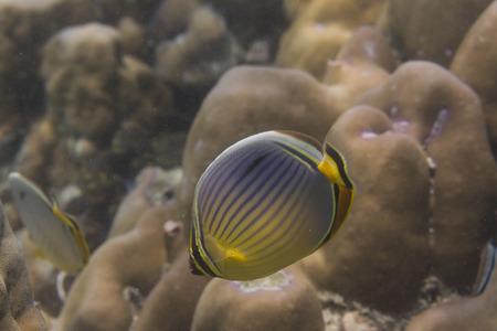 chaetodon: Melon butterflyfish (Chaetodon trifasciatus) at Lipe island in Thailand Stock Photo