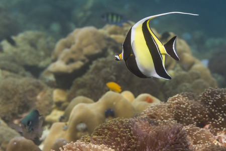 zanclus cornutus: Moorish idol (Zanclus cornutus) at Lipe island in Thailand Stock Photo
