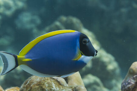 Powderblue surgeonfish (Acanthurus leucosternon) in Andaman sea, Thailand photo