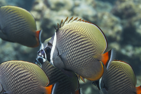 marinelife: Redtail butterflyfish (chaetodon collare) in Andaman Sea, Thailand