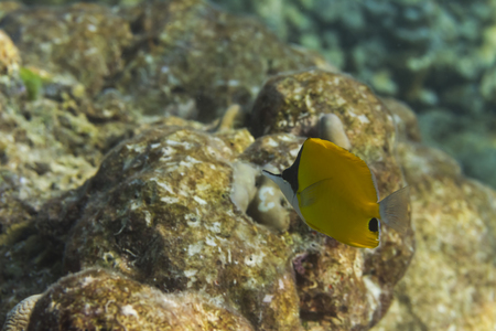 marinelife: Yellow longnose butterflyfish or forceps butterflyfish (forcipiger flavissimus) in Andaman Sea, Thailand