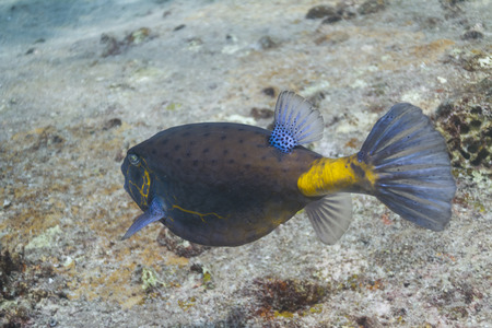 Yellow boxfish (Ostracion cubicus) at Similan national park in Thailand photo