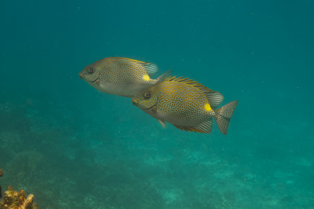 Golden rabbitfish (Siganus guttatus) at Similan island, Thailand photo
