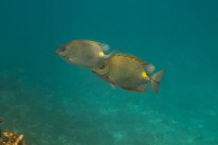 rabbitfish: Golden rabbitfish (Siganus guttatus) at Similan island, Thailand