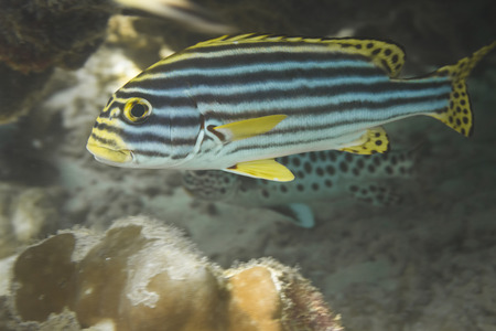 Indian Ocean oriental sweetlips (Plectorhinchus vittatus) in Andaman Sea, Thailand photo