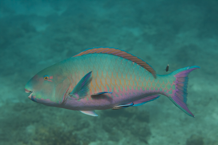 marinelife: Bullethead parrotfish (Chlorurus sordidus) at Similan island in Thailand