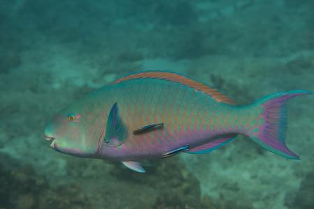 Bullethead parrotfish (Chlorurus sordidus) at Similan island in Thailand photo
