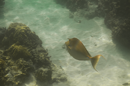 marinelife: Bluespine unicornfish or short-nose unicornfish (Naso unicornis) at Similan national park in Thailand
