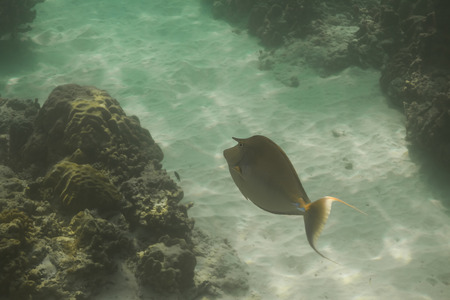 Bluespine unicornfish or short-nose unicornfish (Naso unicornis) at Similan national park in Thailand photo