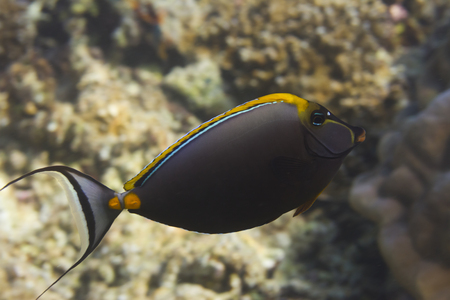 marinelife: Elegant unicornfish (Naso elegans) in Andaman sea, Thailand Stock Photo