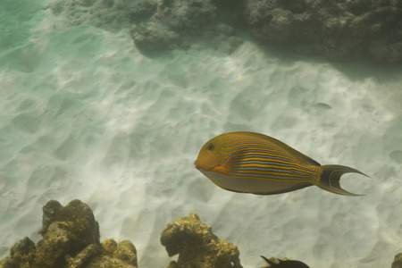 surgeonfish: Striped surgeonfish (Acanthurus lineatus) in Andaman sea, Thailand Stock Photo