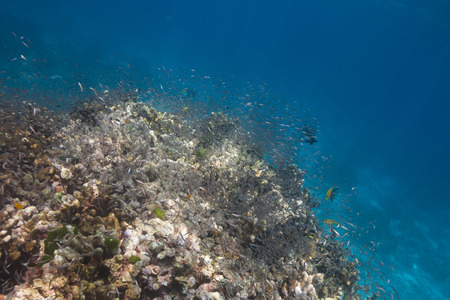 School of baby fish in Similan national park, Thailand photo