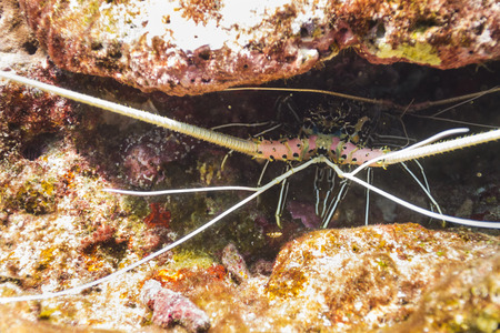 palinuridae: Painted spiny lobster (Panulirus versicolor) under the rock at Surin national park in Thailand