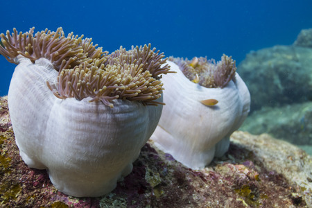 surin: Magnificent sea anemone (Heteractis magnifica) at Surin national park in Thailand Stock Photo