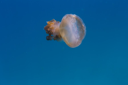 Mosaic jellyfish float in the Gulf of Thailand Stock Photo