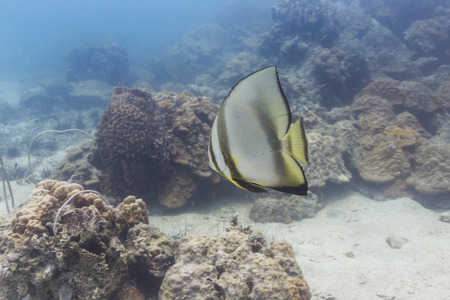 Pinnate batfish (Platax pinnatus) at Koh Chang, Thailand photo