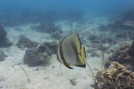 Pinnate batfish (Platax pinnatus) at Koh Chang, Thailand Stock Photo