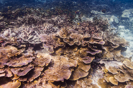 Fine spined coral (Montipora hispida) in Andaman Sea, Thailand