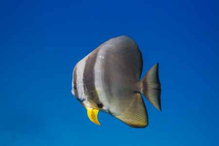 Teira batfish (Platax teira) at Surin national park in Thailand