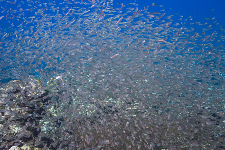 School of fish in Surin national park, Thailand