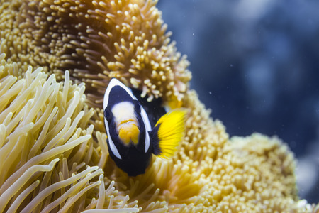 marinelife: Clarks anemonefish (Amphiprion clarkii) at Surin national park, Thailand Stock Photo