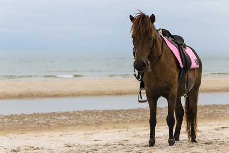 Brown horse on the beach, Thailand Stock Photo