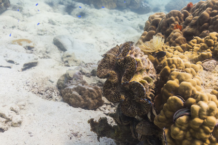 Giant clam (Tridacna gigas) at Kood island, Thailand Stock Photo