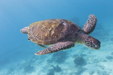 Tortuga Verde (Chelonia mydas), la natación en la isla de Similan, Tailandia