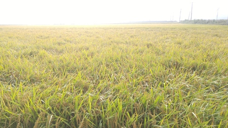 The mellow beauty of autumn rice Stock Photo
