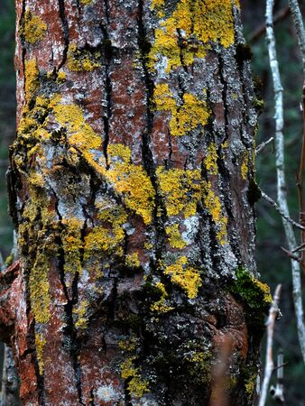 trunks of pines with colorful lichen and moss on a blurred background Stock Photo