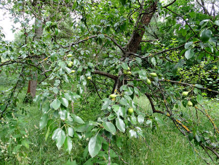 pear tree, young pears on a blurry green background