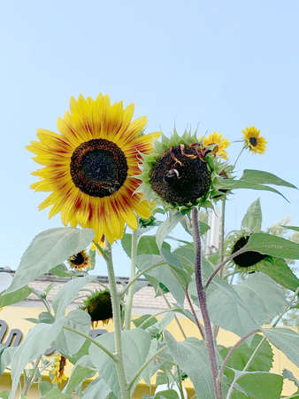 autumn sunflowers with yellow petals and black middle and bumblebee against the blue sky. High quality photo