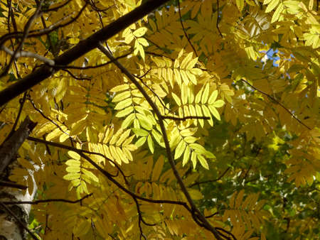 bright red and yellow autumn rowan leaves on the background of the sky, forest autumn background. High quality photo Archivio Fotografico