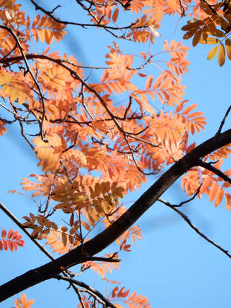 bright red and yellow autumn rowan leaves on the background of the sky, forest autumn background. High quality photo