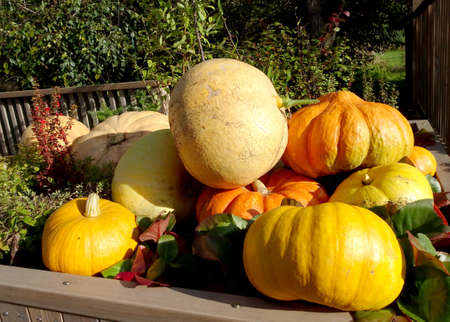 harvest of yellow and orange pumpkins for Thanksgiving and Halloween. High quality photo Stock fotó