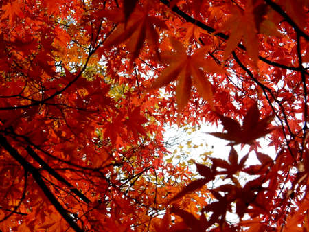 leaves of red japanese autumn maple against the sky, selective focus, blurred background. High quality photo