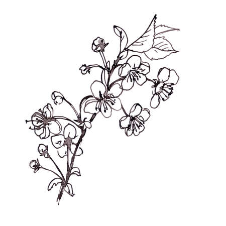 Blossoming cherry branch, graphic black and white drawing on a white background. High quality illustration Stock Photo