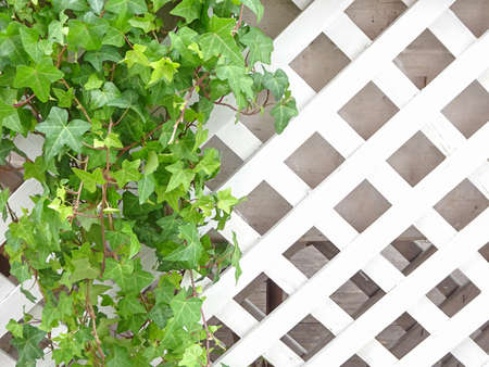 Ivy and white wooden trellis, copy space, selective focus. High quality photo