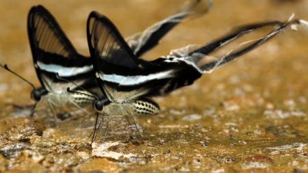 spp: Synchronization of Lamproptera spp