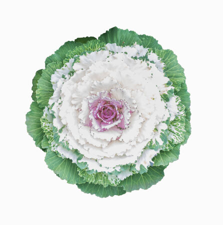 ornamental cabbage flower isolated on white photo