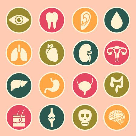organi interni: organi umani icona Vettoriali