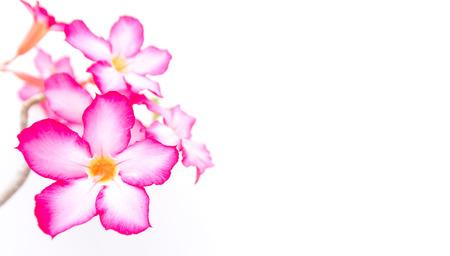 Thai azalea