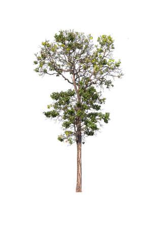 arboles frondosos: Tree on white background.