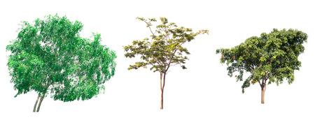 enano: Isolated tree on white background.