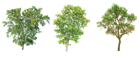 白い背景の分離のツリー。 写真素材