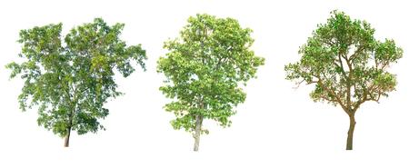 Isolated tree on white background. Stock Photo - 77537134