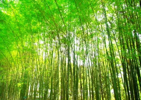 asia nature: green bamboo forest, background texture