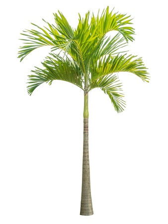 palm tree isolated on white background. Reklamní fotografie