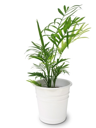 botanica: Green leaves of bamboo palm tree isolated on white background Stock Photo